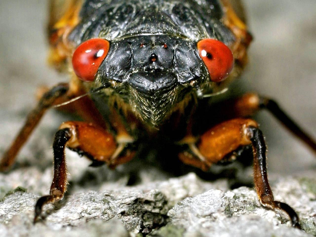 Насекомое цикада: поющий вредитель огородов и полей