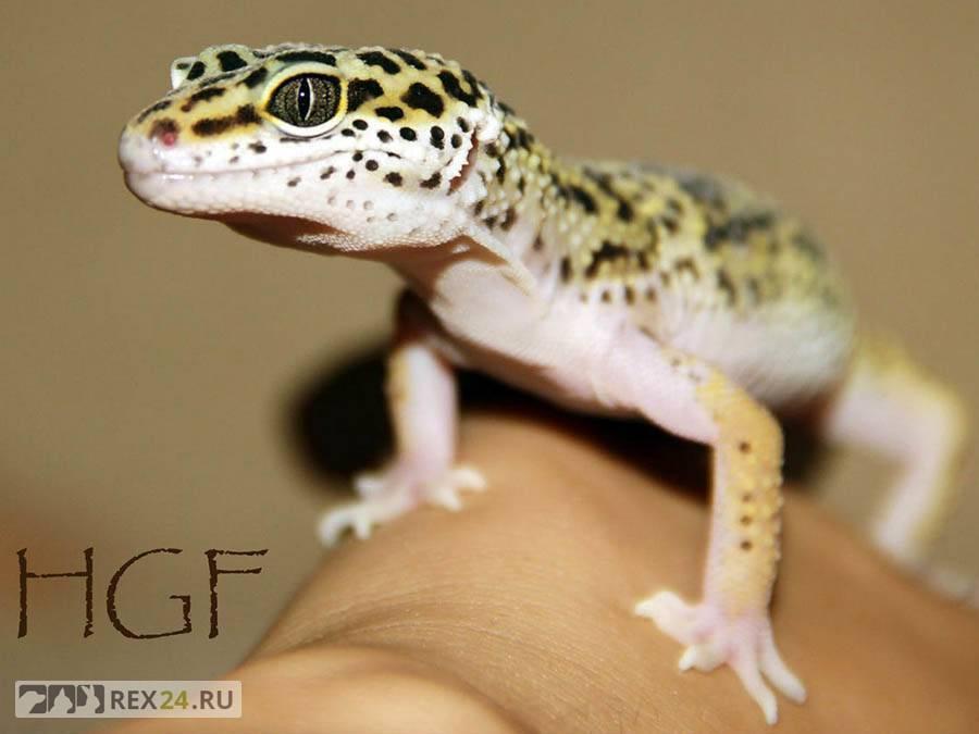 Эублефар - рекомендации по уходу и содержанию геккона