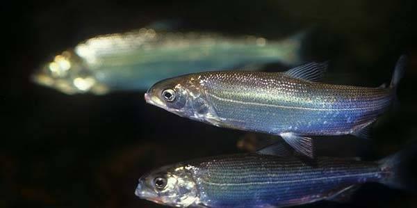 Ряпушка рыба: описание, места обитания, снасти, техника ловли
