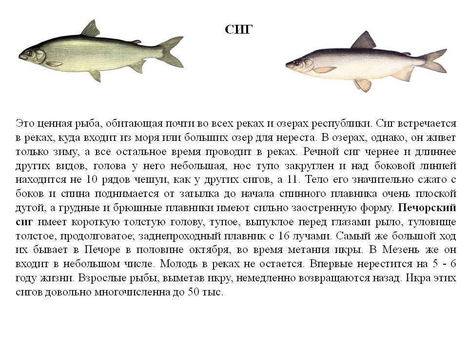 Рыба семейства сиговых - общая информация, список, особенности ловли сига
