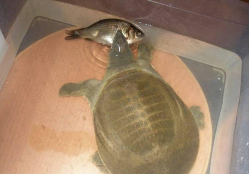 Китайский трионикс или дальневосточная черепаха: внешность, образ жизни, использование