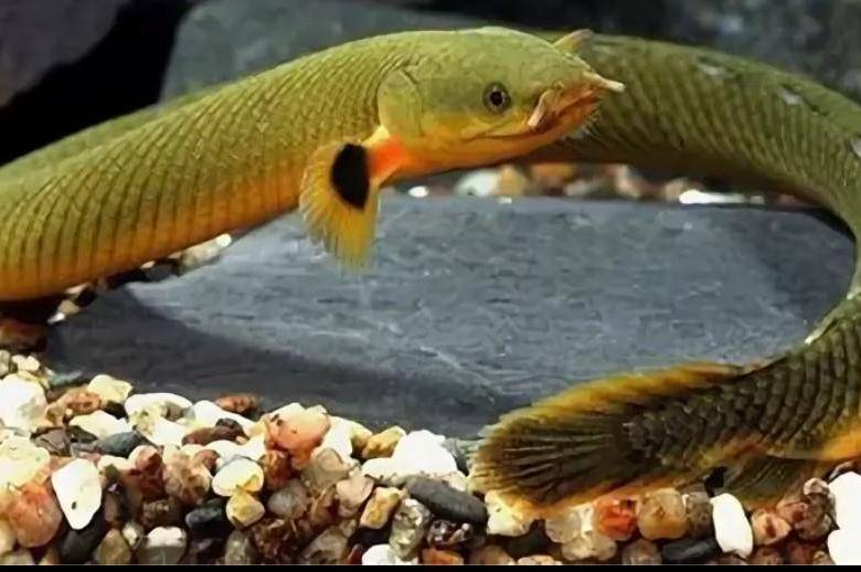 Рыба змея (каламоихт калабарский) в аквариуме: содержание, уход, совместимость, кормление, размножение аквариумной рыбки