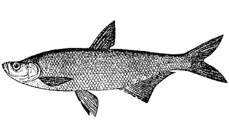 Морской черт - как готовить рыба вкусно