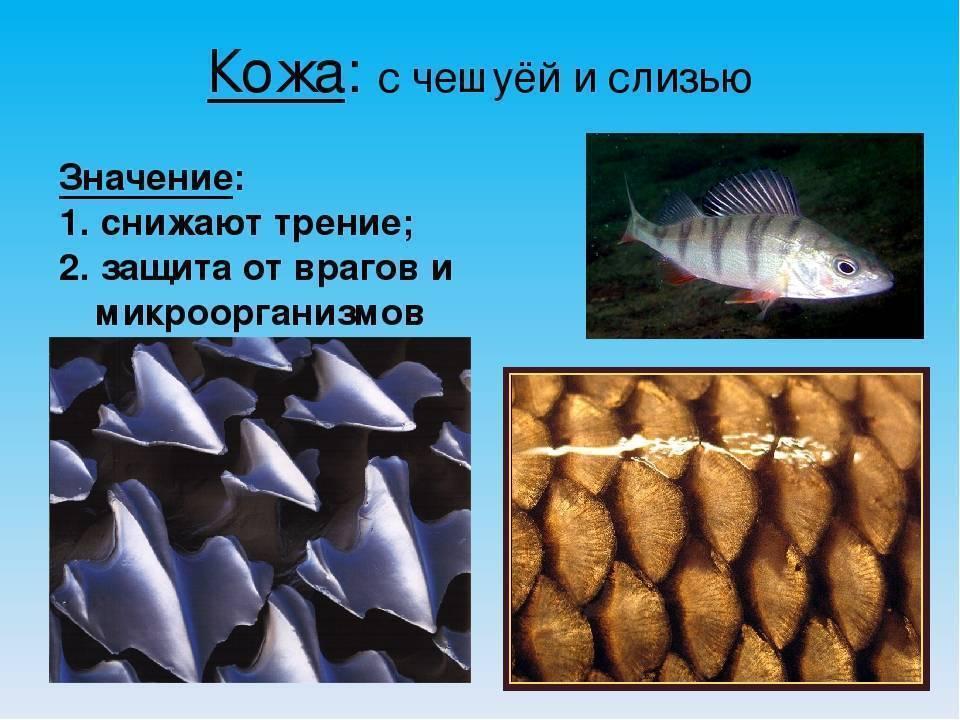 Рыбы без чешуи