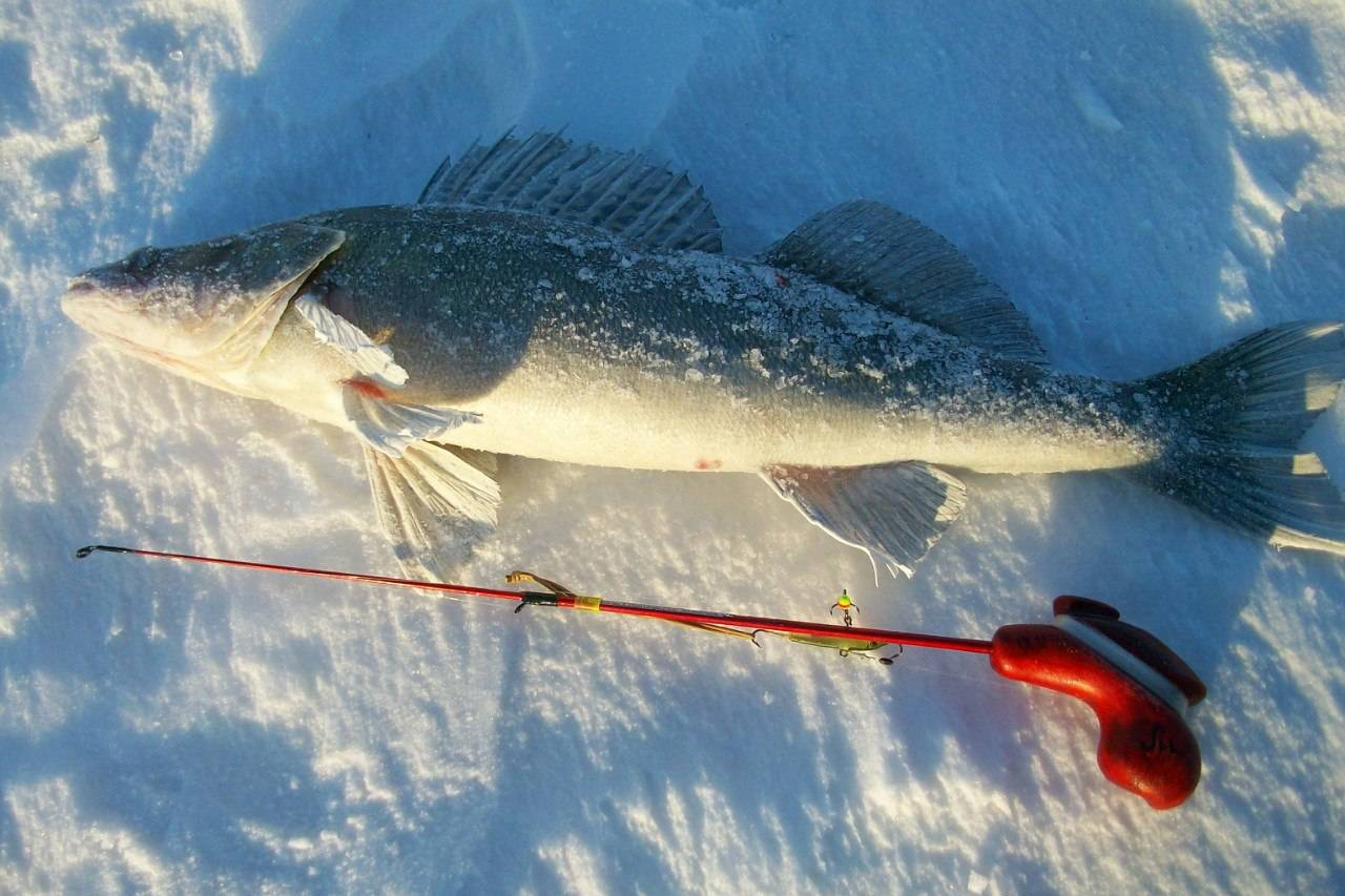 Ловля судака на блесну зимой