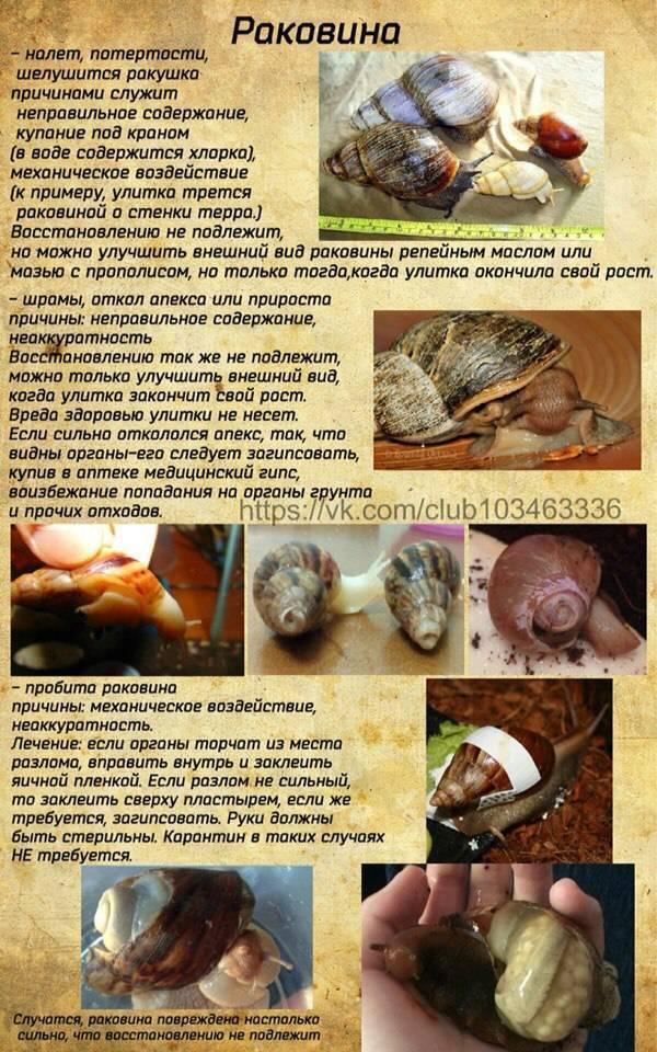 Проблемы с раковиной улитки: слоится панцирь что делать