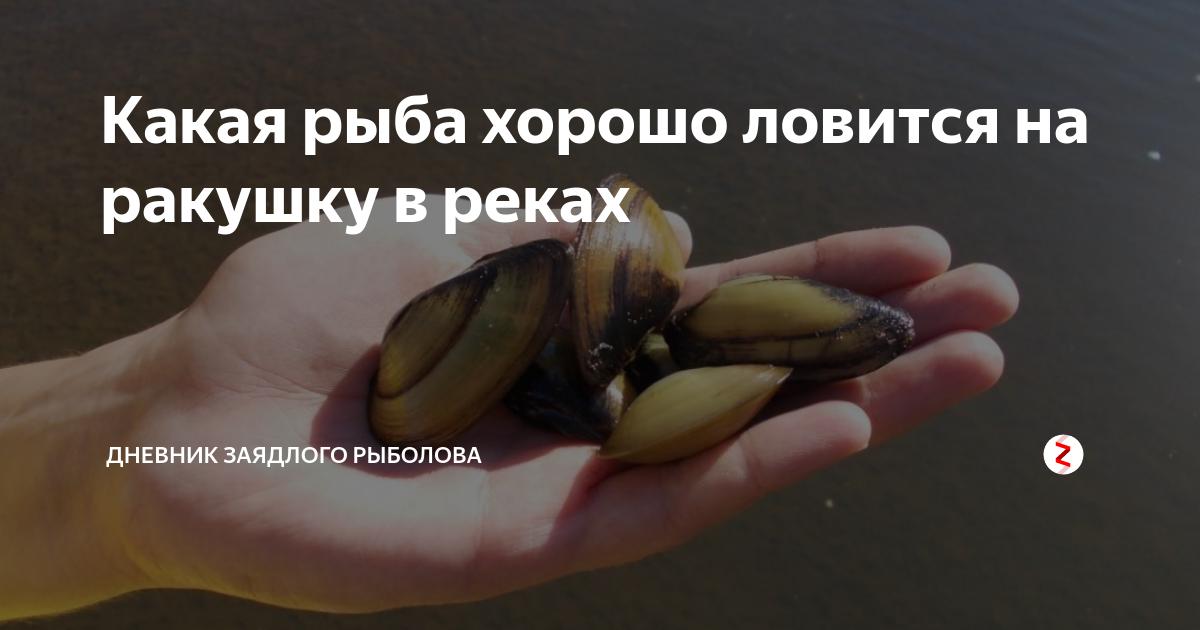 Ракушка (перловица) для рыбалки: как открыть, насаживать и сохранить насадку