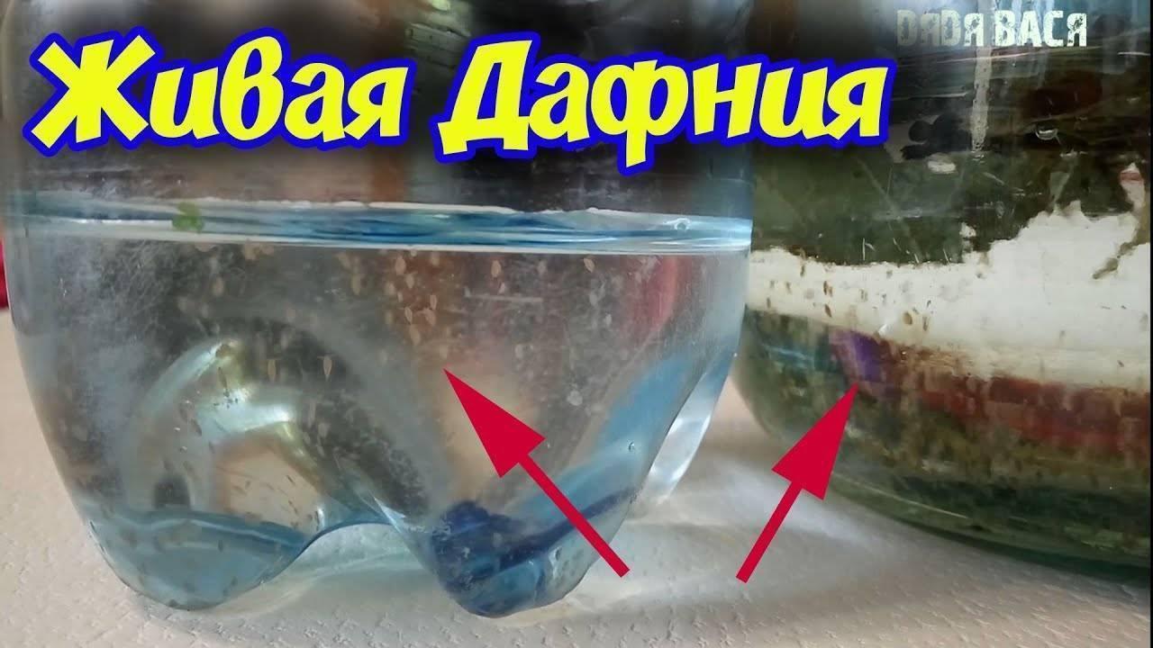 Разведение дафнии — аквариум — блог аквариумиста