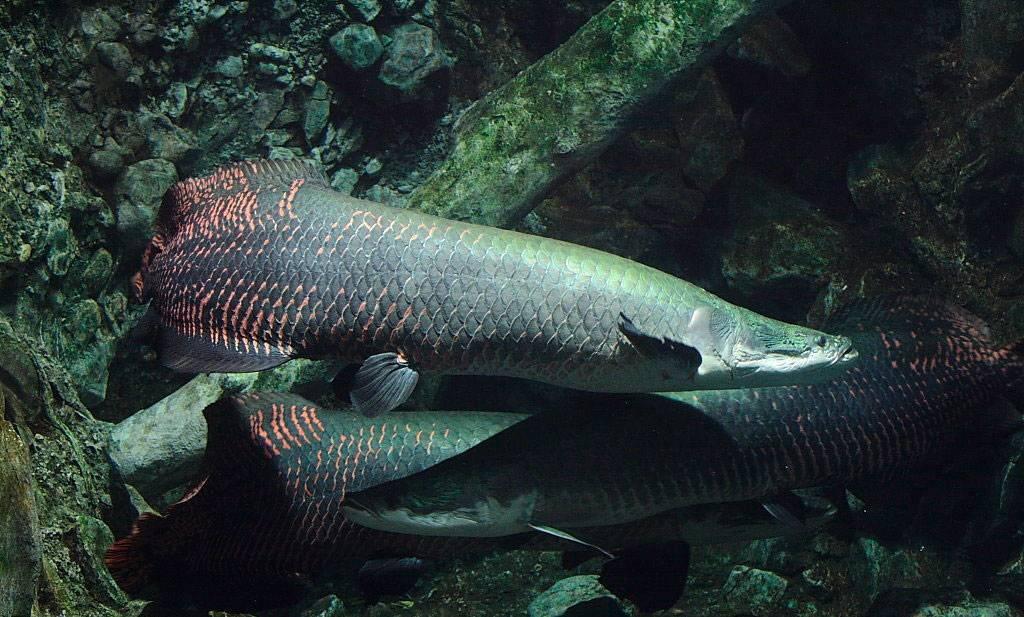 Арапайма гигантская рыба: фото-видео обзор!