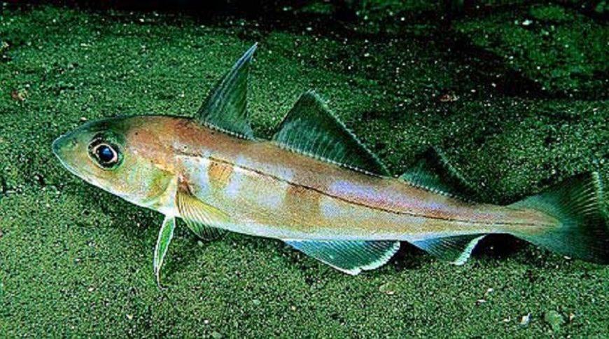 Какая рыба полезнее пикша или треска