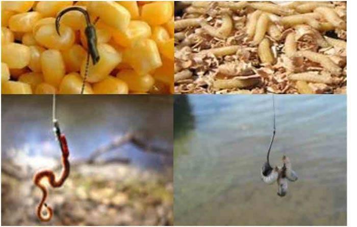 На что лучше клюет карась – лучшие приманки для разных сезонов и условий ловли