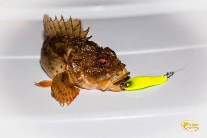 Ерш: колючая рыба из окуневых