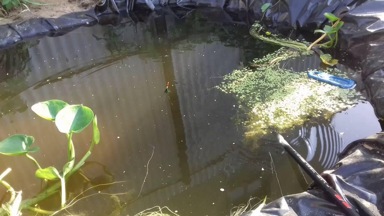 Как и чем кормить прудовую рыбу?