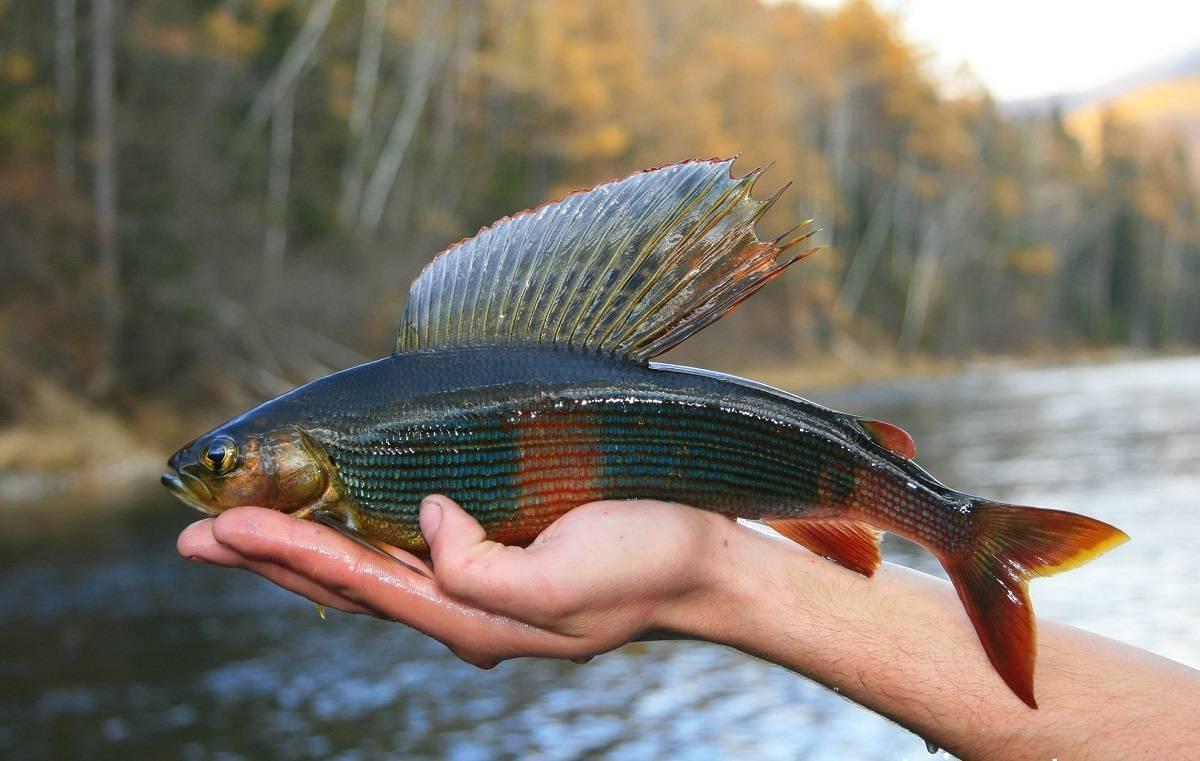 Какая рыба водится в байкале
