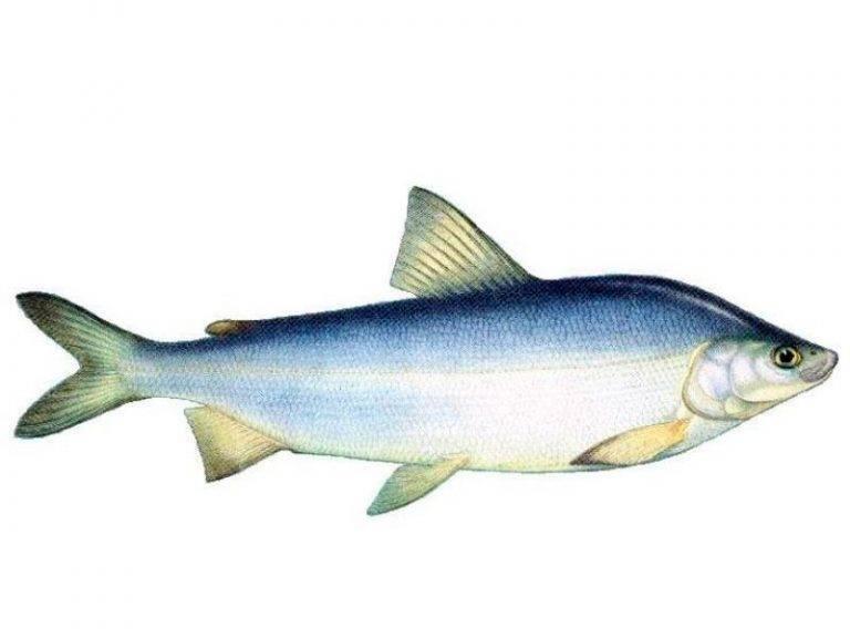 Рыба муксун: польза и свойства. как приготовить муксун и рецепты   знать про все