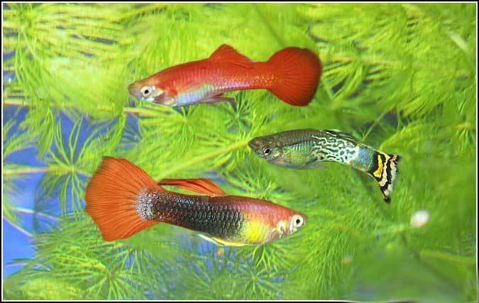 Гуппи: родина рыбки, описание, сложность в содержании, кормление