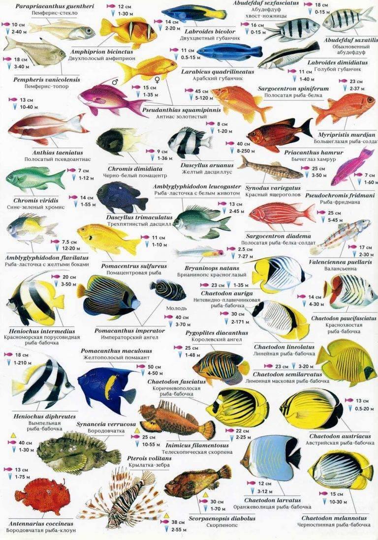 Красное море, часть 2 – рыбы.