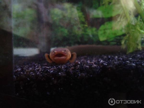 Каламоихт: внешний вид, происхождение и поведение, условия содержания и кормления рыбы-змеи