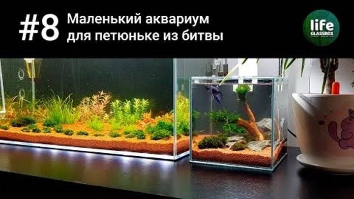 Как содержать рыбок петушков в аквариуме?