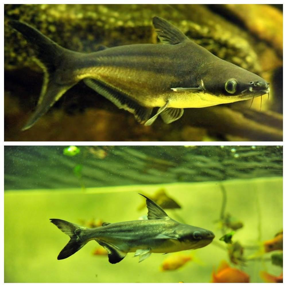 Содержание в аквариуме пангасиуса