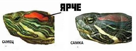 Как определить пол у сухопутных и красноухих черепах по внешним признакам