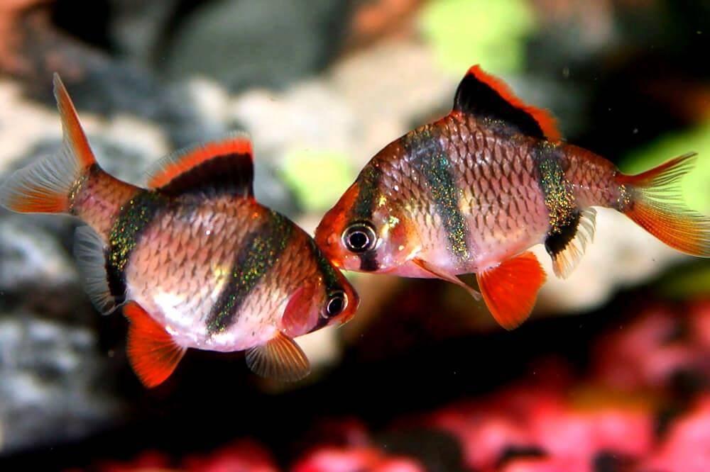 Черный барбус: фото, половые признаки самца и самки, содержание и уход, разведение аквариумной рыбки