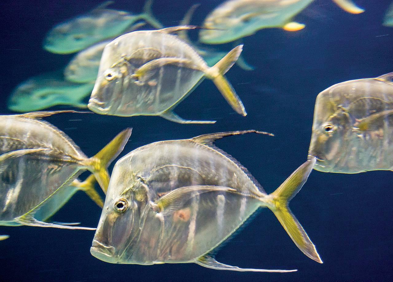 Ядовитые рыбы: особенности самых ядовитых и опасных рыб на планете (125 фото)