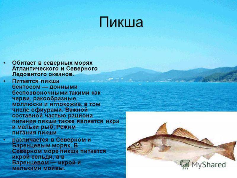 Рыба пикша