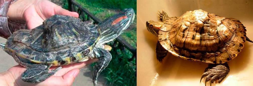 Чем лечить микоз у красноухой черепахи