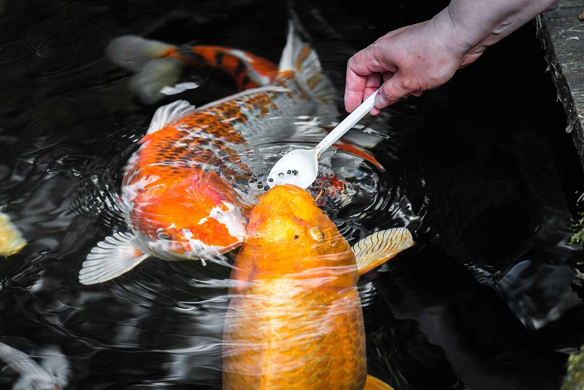 Рыба для пруда: какую лучше разводить, как обустроить искусственный водоем?