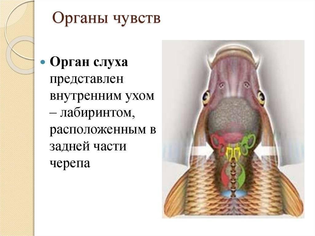 Органы слуха и равновесия. разговоры рыб. какой слух у рыб? и как работает у рыб орган слуха? что является органом слуха у рыб
