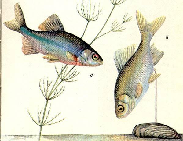 Рыба горчак: биологическая характеристика вида и способы ловли