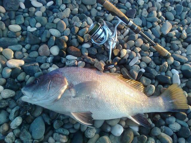 Как поймать лаврака (сибаса) в средиземном море израиля - виды снастей, наживки, тактика ловли