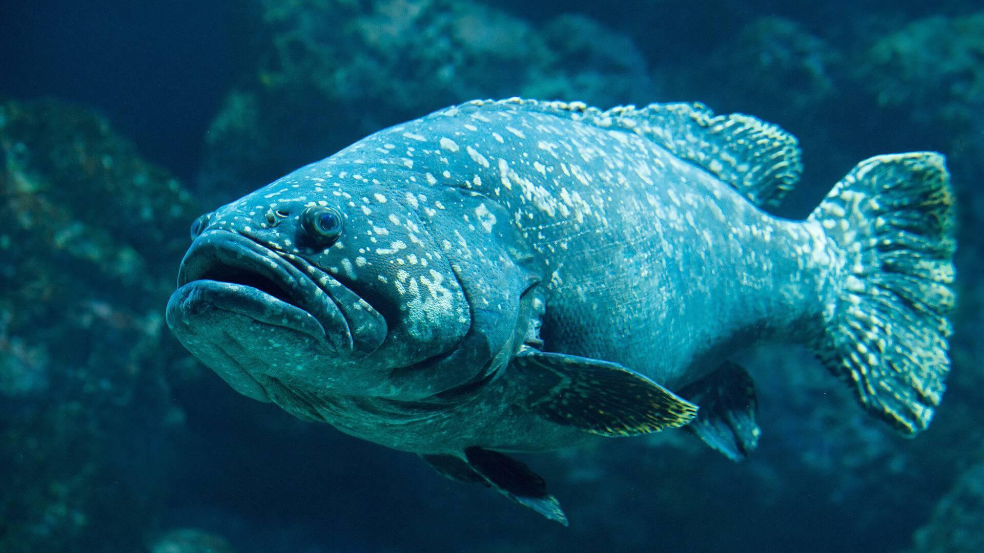Рыба групер