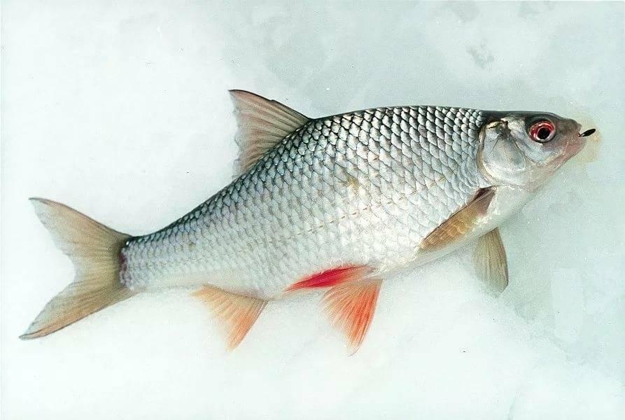 Рыба сорога: фото и описание, места обитания и питание, особенности рыбалки