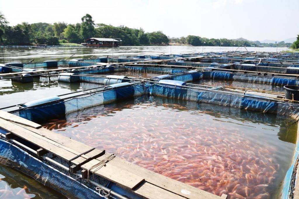 Прудовое рыбоводство: как правильно организовать?