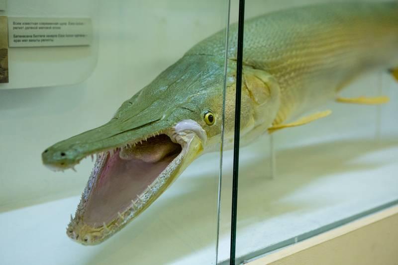 Аквариумная панцирная щука условия содержания требования к аквариуму