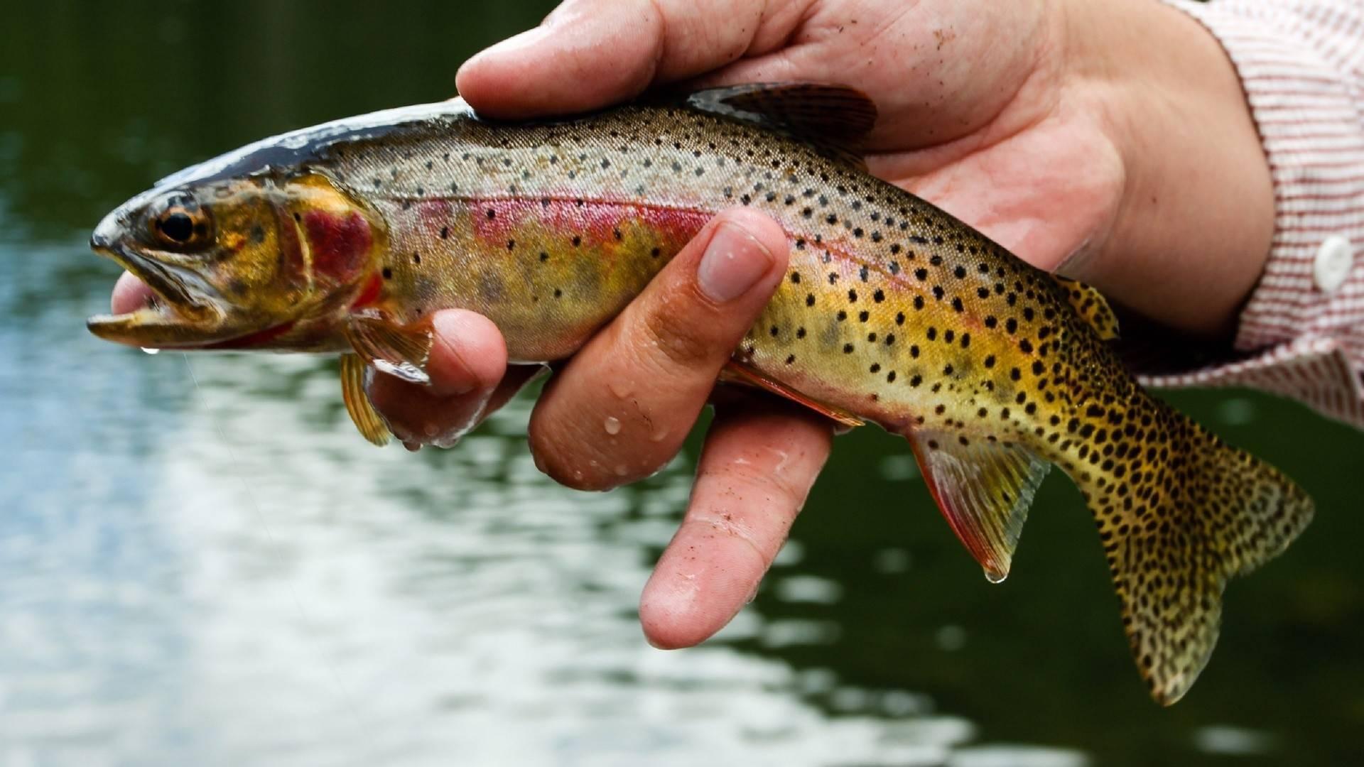 Рыба форель: где водится и чем питается, ее польза и вред