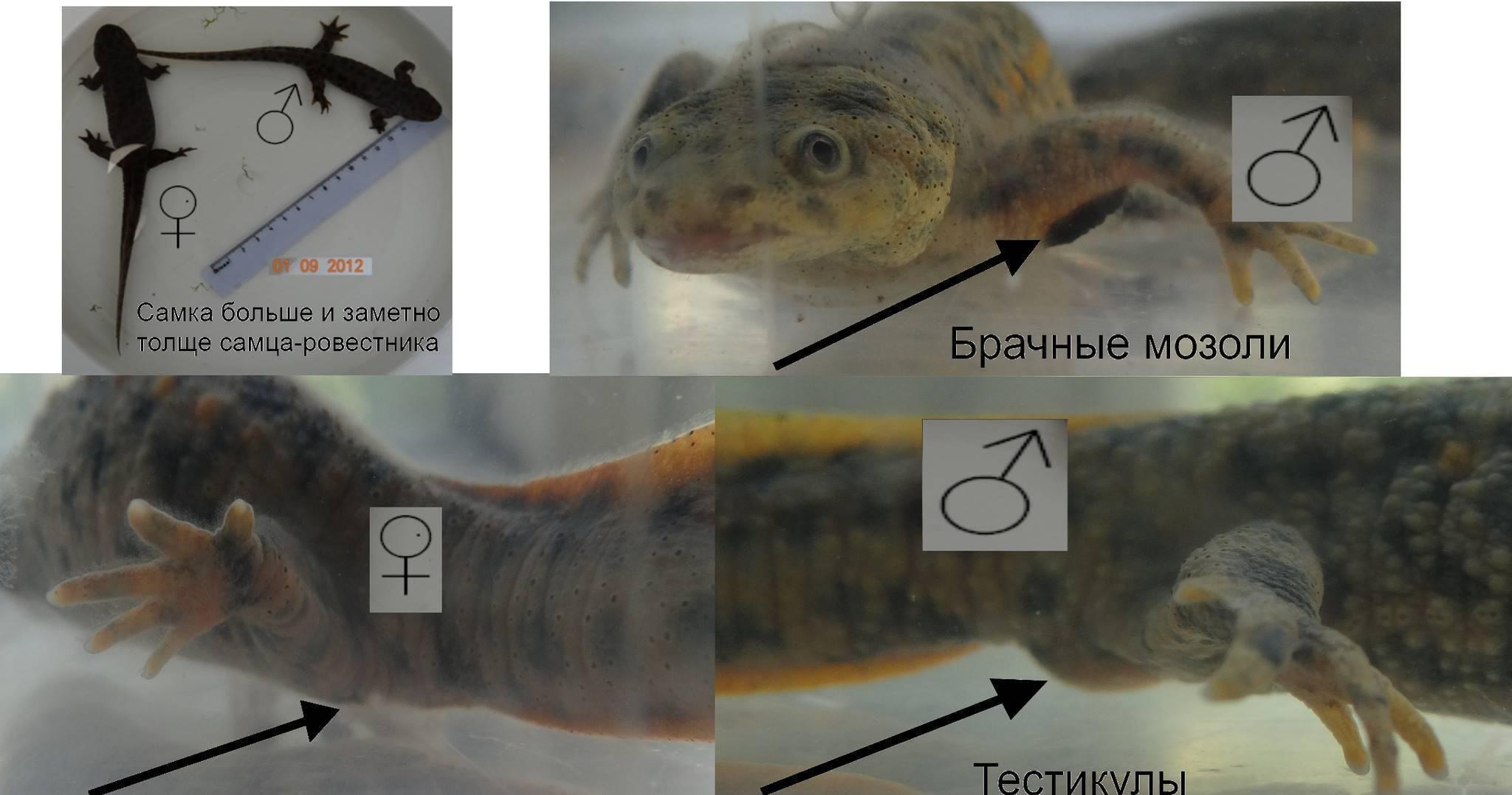Гуппи размножение: как происходит, как рожают, как часто, особенности, правильный уход в аквариуме