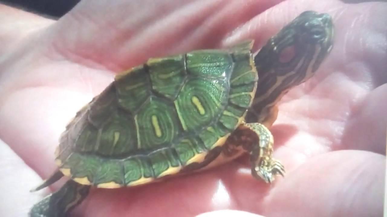 Как выбрать черепаху для дома? какую лучше черепаху выбрать? практические рекомендации1 min read. виды черепах: описание с фото черепаха в квартире плюсы и минусы