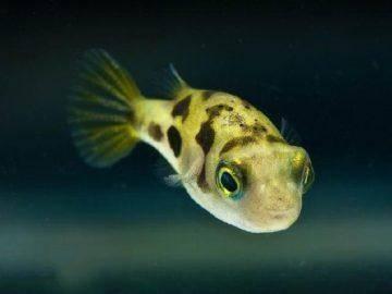 Зеленый тетрадон в аквариуме - виды и описания | аквариумные рыбки