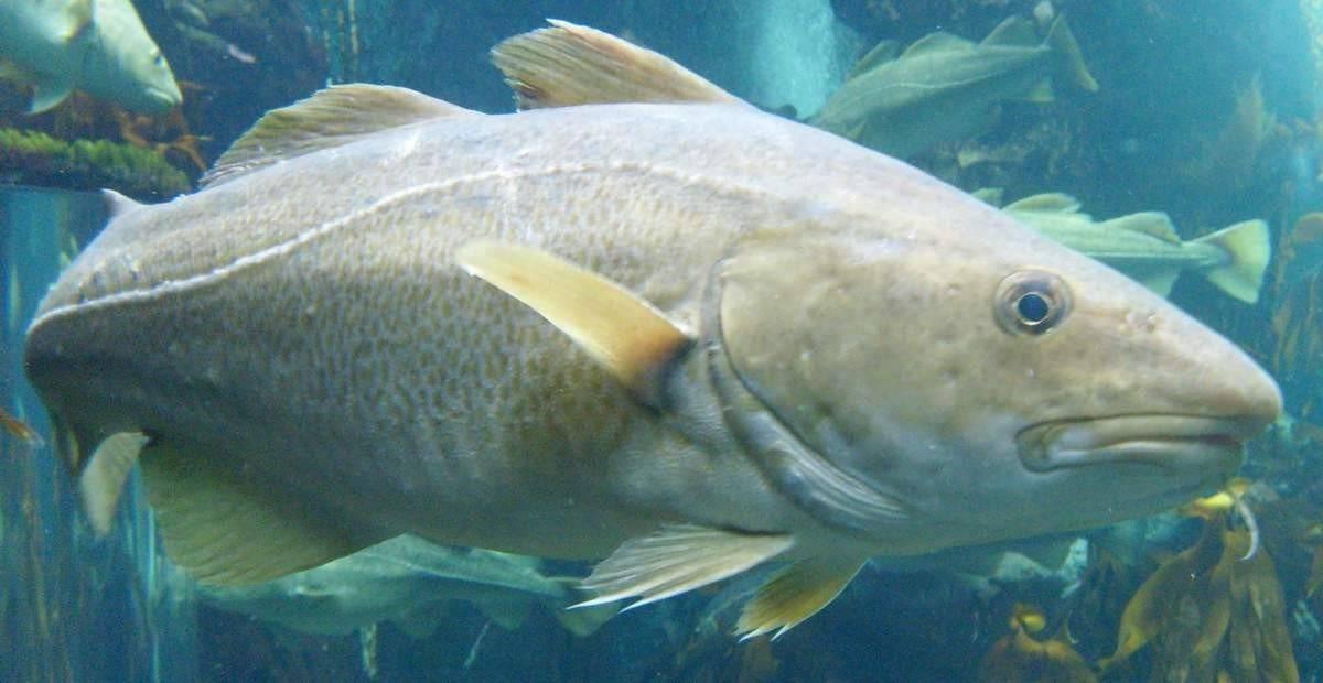 Треска — описание рыбы, польза и вред, как выбрать и правильно приготовить на ydoo.info