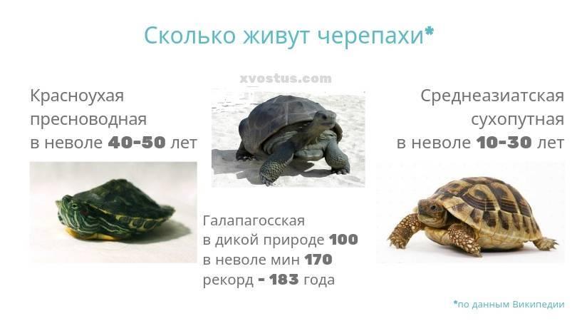 Сколько живет черепаха? - содержание черепах дома - уход, кормление, лечение заболеваний