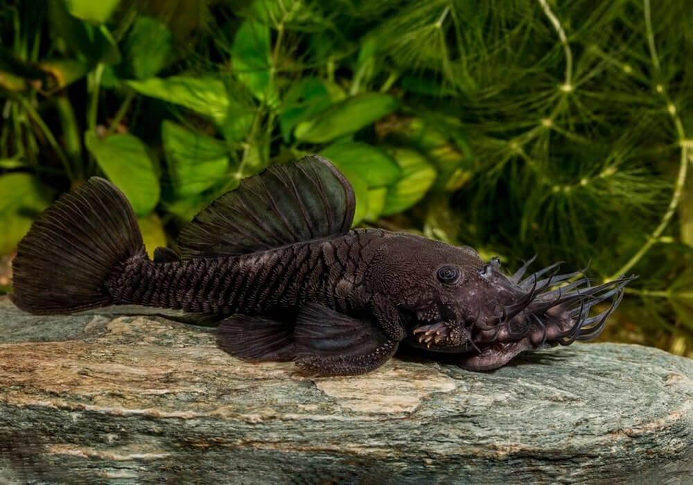Рыба прилипала и ее описание