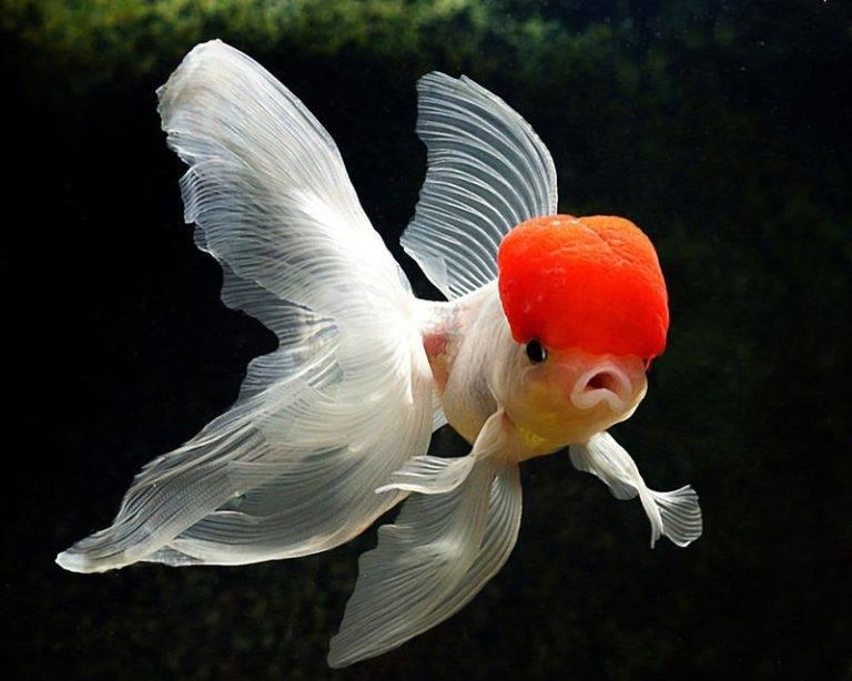 Золотые рыбки: уход и содержание в аквариуме, виды