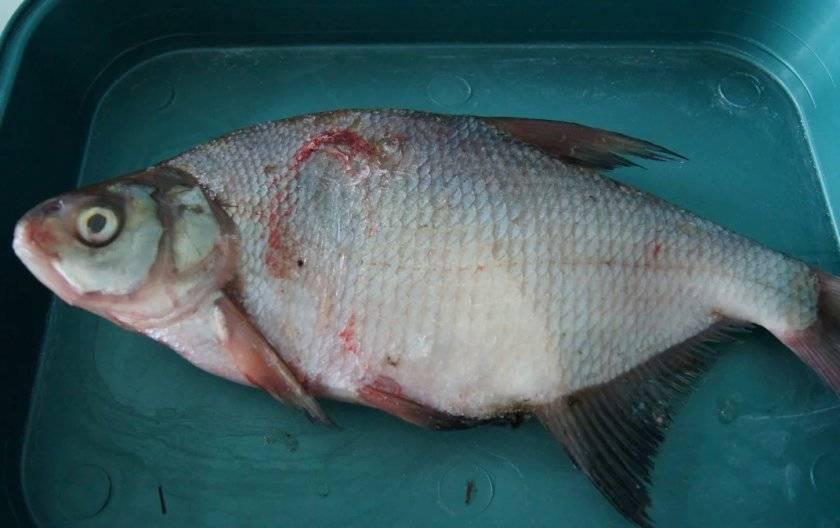 Селитерная рыба: фото как выглядит червь селитер
