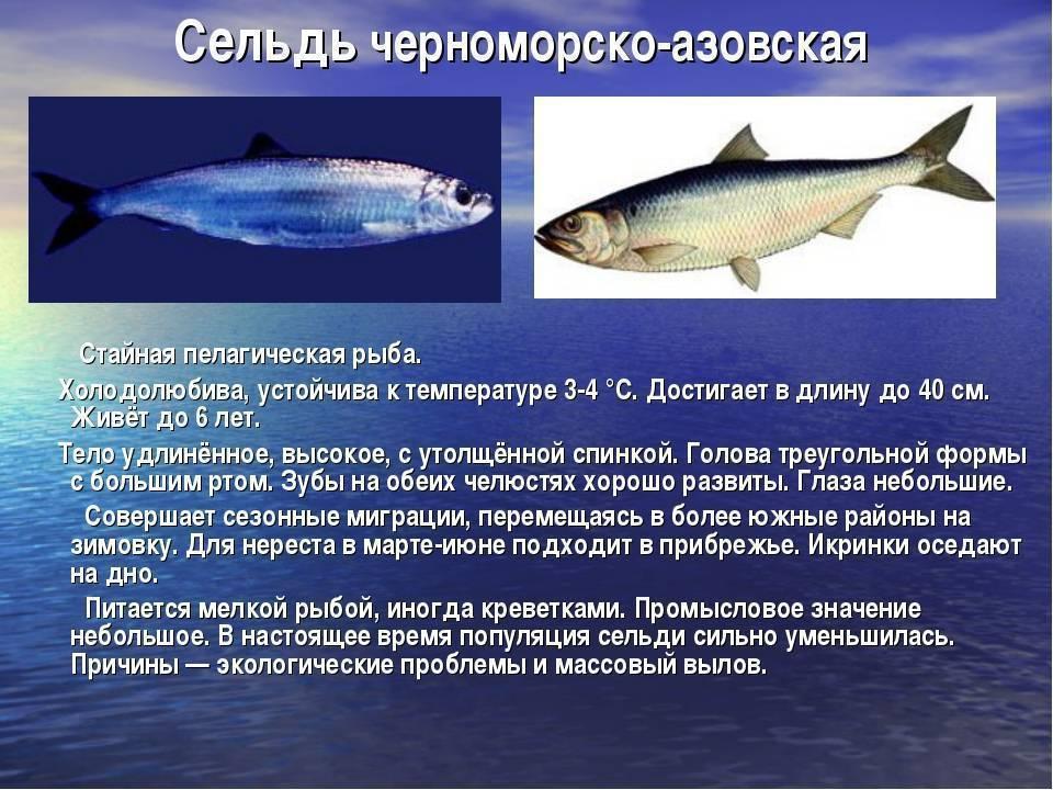 Конгрио? что за рыба, польза и вред, свойства креветочной рыбы