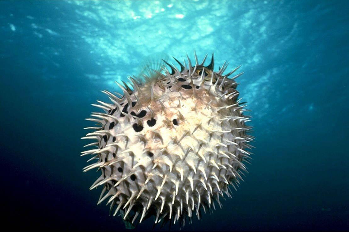 Рыба-ёж при опасности превращается в колючий шар: ядовита