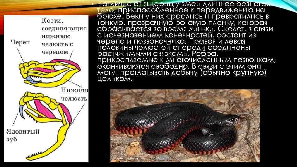 Ящерица желтопузик — это не змея! описание и фото удивительного существа