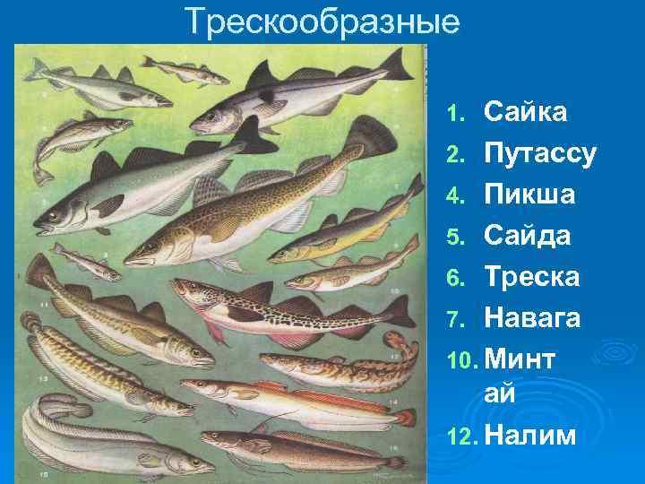Семейство лососевых рыб с описанием и фото